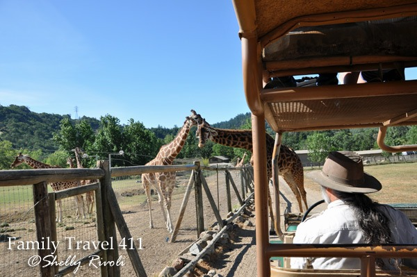 Reticulated (left) and Masai giraffes at Safari West Wildlife Preserve.