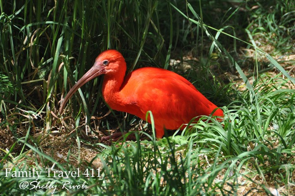 A postcard-perfect scarlet ibis.
