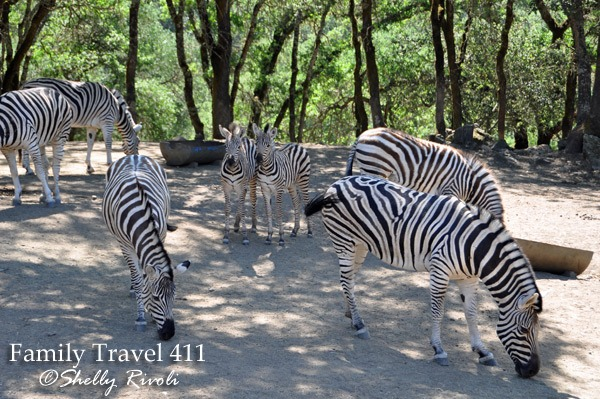 Are you seeing stripes yet? You can see how their camouflage helps hide them as a group--especially in shadows.