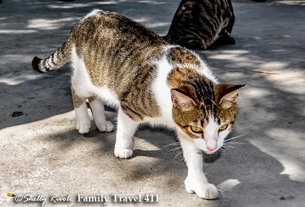 Polydactyl cat at Hemingway Home Museum