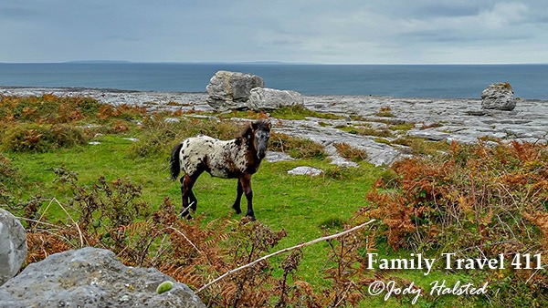 Burren colt at County Clare