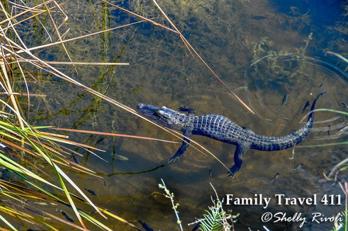 American Alligator in Big Cypress National Preserve.