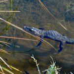 Big Cypress National Preserve with kids alligator