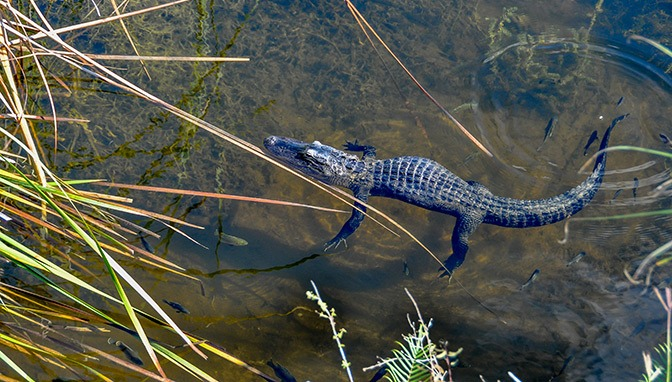 Big Cypress National Preserve with kids alligator