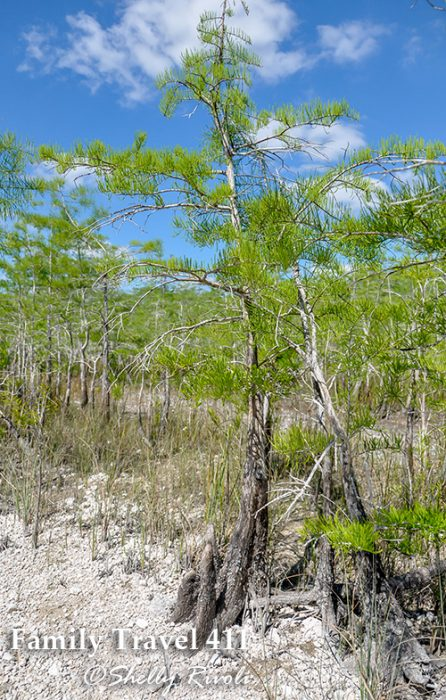 """""""Knees"""" appear to the left of these bald cypress. While many believe they help bring air to the trees in swampy conditions, it is still debated among scientists."""
