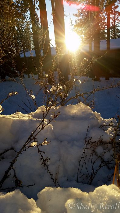 sunset through snowy branches at south lake tahoe