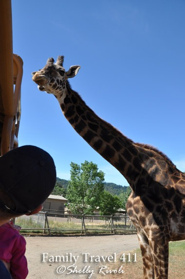 Safari jeep passenger and giraffe at Safari West
