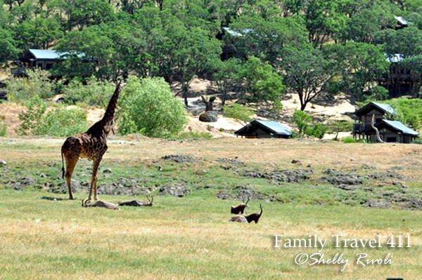 Animals and African tents at Safari West