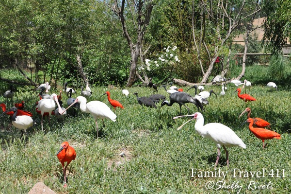 Visit African spoonbills and scarlet ibises at Safari West Wildlife Preserve.