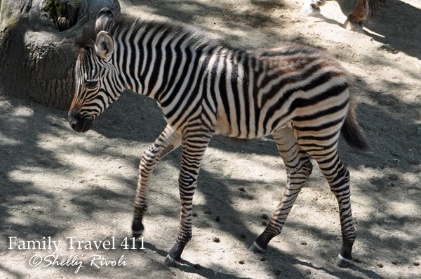 baby zebra at Safari West wildlife preserve