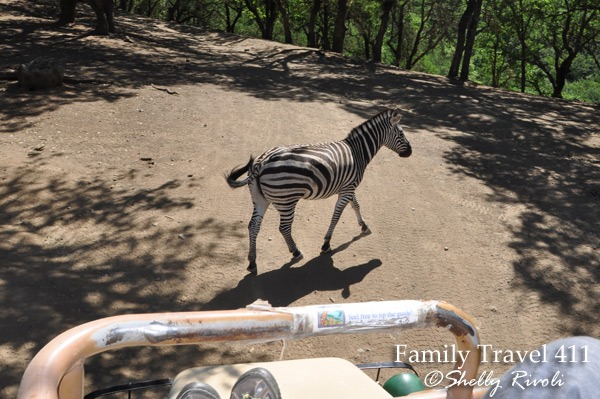 Zebra crossing in front of safari jeep at Safari West preserve