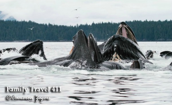 Humpback whales engaged in a bubblenet feeding.