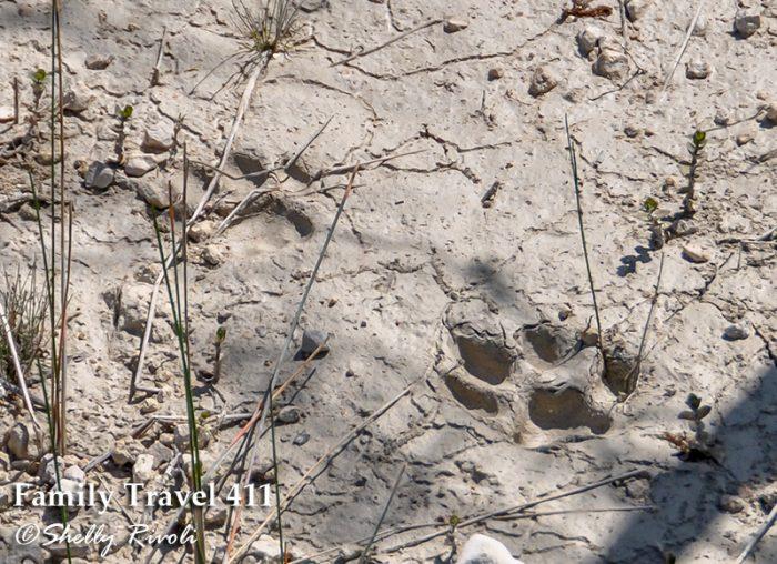 Florida panther tracks in Big Cypress National Preserve