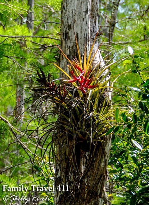 bromeliad in big cypress national preserve, Florida