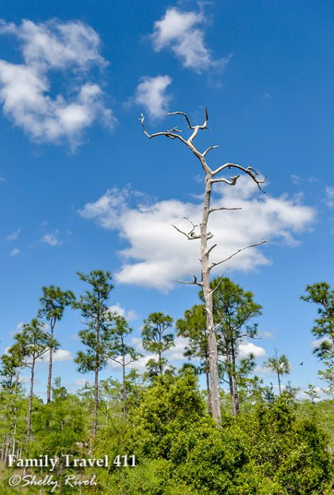 """A tall pine once struck by lightening is filled with fire-starting """"lighter pine."""""""