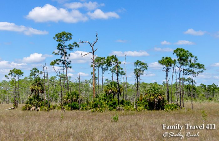 A young pine hammock in Big Cypress National Preserve.