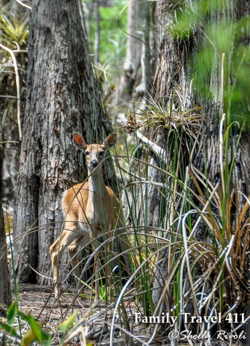 Catching the gaze of a deer, but not its concern, as we explore Big Cypress on foot.