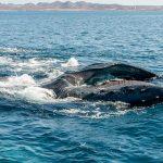 humpback whale feeding through baleen in Sea of Cortez