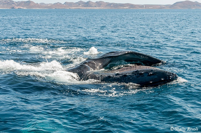 humpback whale feeding through baleen in Sea of Cortez