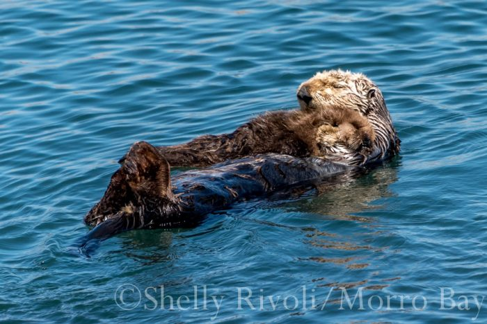 A mom and baby sea otter sleeping on the water at Morro bay.