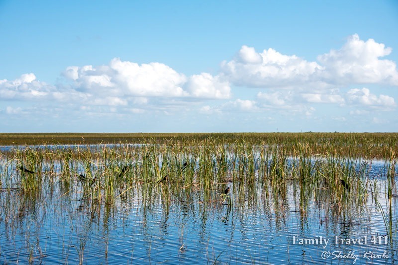 Small birds find sanctuary in what sawgrass remains above the unusually high levels of water caused by excessive rains and Hurricane Irma in the Everglades