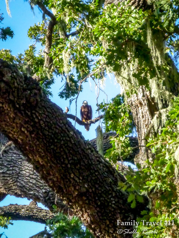 Bald eagle sitting in oak tree